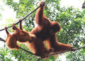 Orangutan with infants mother two babies on the tree Royalty Free Stock Image