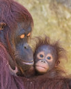 Orangutan mother and baby cute months old bornean ornagutan with it s Royalty Free Stock Photography