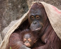 Orangutan mother and baby proud the looking very content Royalty Free Stock Photography