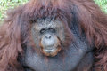 Orangutan the orangutans are the two exclusively asian species of extant great apes native to indonesia and malaysia orangutans Stock Images