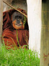 Orangutan Playing Royalty Free Stock Photography