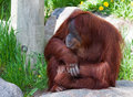 Orangutan pongo pygmaeus portrait sitting on a rock Royalty Free Stock Photo