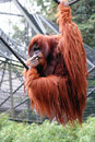 Orangutan Portrait Royalty Free Stock Image