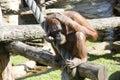 Orangutan primacy anthropoid the tropics nostril hair zoo Stock Images