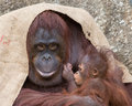 Orangutan proud mother young with her first born baby looking very Stock Photos