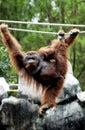 Orangutan in the safari park pasuruan east java indonesia Royalty Free Stock Photo