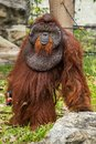 Orangutan with the signature developed cheek dominant male in chiang mai zoo thailand Stock Photos