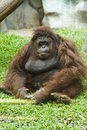 Orangutan sitting on grass Royalty Free Stock Photo