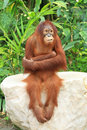 Orangutan sitting on the rock and cross ones arm cute Royalty Free Stock Image