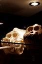 Orangutan skulls animals zoology exhibit Stock Images