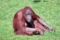 Orangutan smile zoo Royalty Free Stock Image