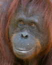 Orangutan smiling beauty a young female bornean seems to be having a good day Stock Images