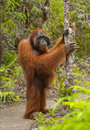 Orangutan stands on its hind legs in the jungle. Indonesia. The island of Kalimantan Borneo. Royalty Free Stock Photo