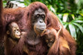 Orangutan with two babies mother her Royalty Free Stock Photography