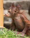 Orangutan wrong feeding station baby mistaking the bolt for her mother s teat Royalty Free Stock Photos
