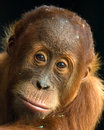 Orangutan - Young Malu Stock Photos