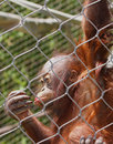 Orangutan young orang hanging from enclosure fence looking at hand Stock Image