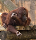 Orangutan at Zoo Royalty Free Stock Photography
