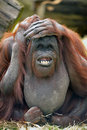 Orangutang Royalty Free Stock Photography