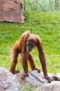 Orangutang Stock Image