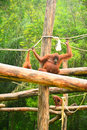 Orangutans Royalty Free Stock Photo
