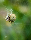 Orb spider the araneus quadratus in the centre of her web Royalty Free Stock Images