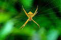 Orb spider or signature spider and web spiders spiders spiders argiope anasuja the genus argiope includes rather large spectacular Royalty Free Stock Photo