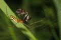 Orb-weaver spider (Araneidae) Royalty Free Stock Photo