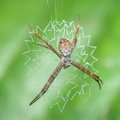 Orb Weaver Spider Royalty Free Stock Photo
