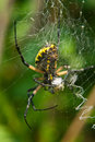 Orb Weaver Royalty Free Stock Photo