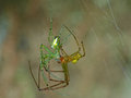 Orb weaver spiders mating closeup of on a web Stock Image