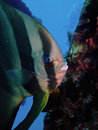 Orbicular spadefish Stock Photos