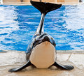 The orcas show in loro parque tenerife spain island Royalty Free Stock Photos