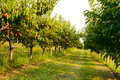 The orchard. Royalty Free Stock Photography