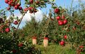 The Orchard Royalty Free Stock Photo