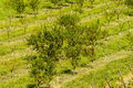 Orchard an apple in romania bird view Stock Image