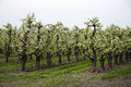 Orchard with blooming apple low trunk trees Royalty Free Stock Photo