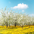 Orchard of blossoming cherry trees and blooming dandelions Royalty Free Stock Photos