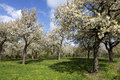 Orchard with cherry trees in blossom, Haspengouw, Belgium