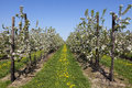 Orchard with fruit trees in blossom