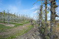 Orchard with fruit trees in bud