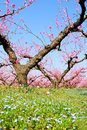 Orchard in may of peach trees bloomed spring Stock Photo