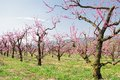 Orchard in may of peach trees bloomed spring Royalty Free Stock Photography