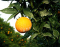 Orchard orange sprayed with insecticide Royalty Free Stock Photos