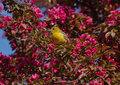 Orchard oriole with pink blossoms Stock Photos