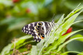 Orchard swallowtail butterfly resting on greenery Stock Photos