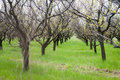 Orchard trees in the blossoming phase Royalty Free Stock Images