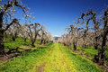 Orchard trees and mount adamson Royalty Free Stock Image