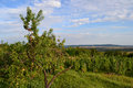 Orchard with trees vineyard and blue sky as background Royalty Free Stock Images