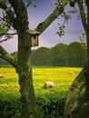 Orchard view on sheep Royalty Free Stock Image